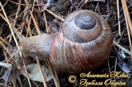 Helix pomatia. Фотография 176