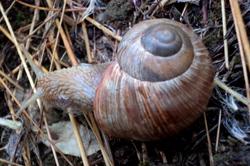 H. pomatia. Фотография 177