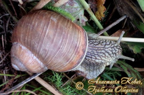 Helix pomatia. Фотография 178