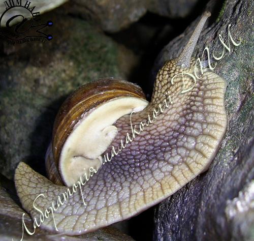 Helix pomatia. Фотография 166
