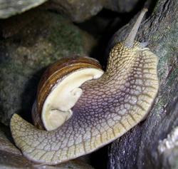 H. pomatia. Фотография 167