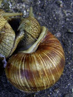 H. pomatia. Фотография 169