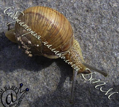 Helix pomatia. Фотография 170