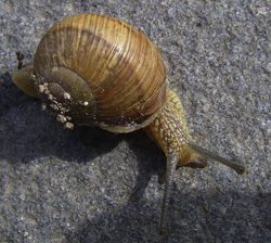 H. pomatia. Фотография 171