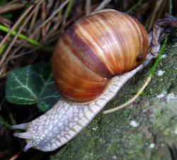 H. pomatia. Фотография 173