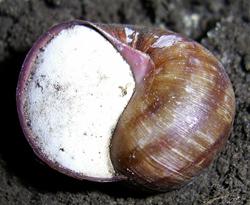 H. pomatia. Фото Фотография 175