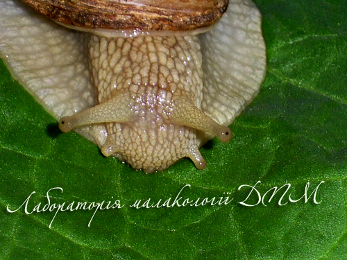 Helix pomatia. Фотография 74