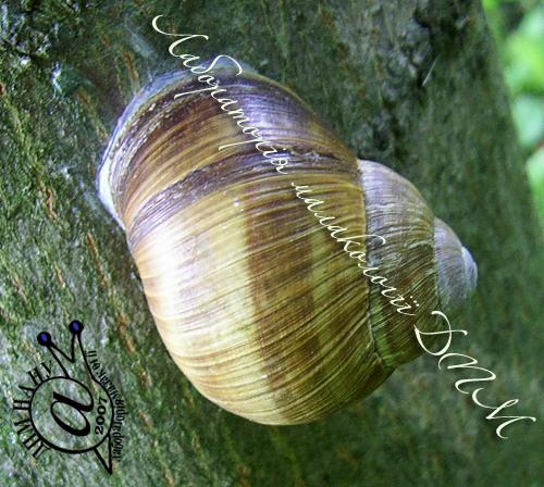 Helix pomatia. Фотография 76