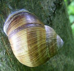 H. pomatia. Фотография 77