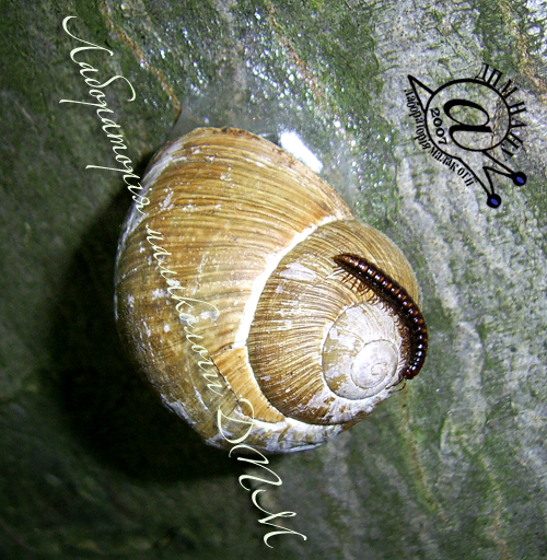 Helix pomatia. Фотография 78