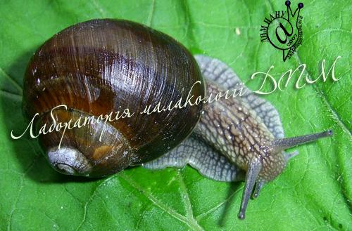 Helix pomatia. Фотография 80