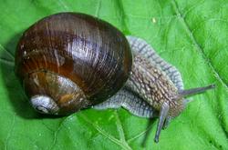 H. pomatia. Фотография 80