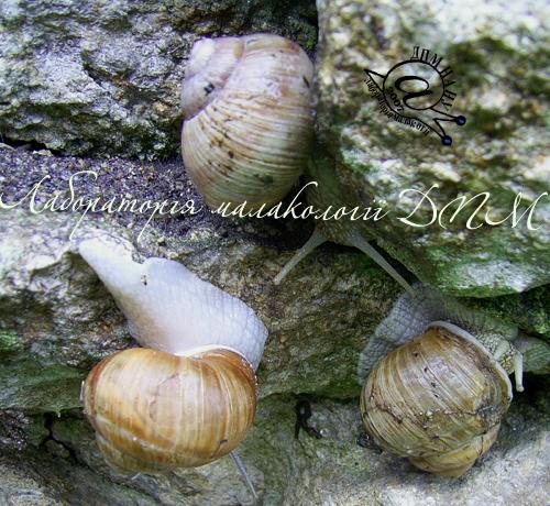 Helix pomatia. Фотография 81