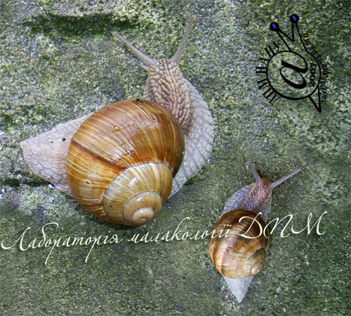 Helix pomatia. Фотография 83