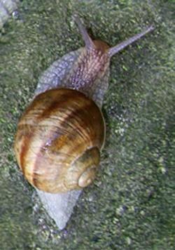 H. pomatia. Фотография 84