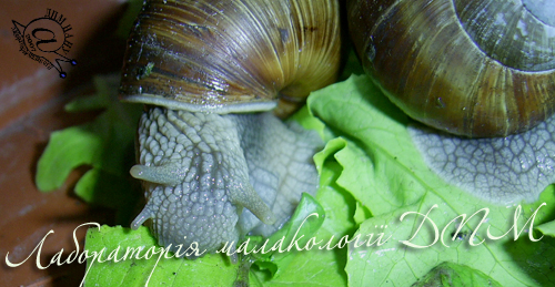 Helix pomatia. Фотография 85