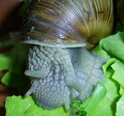 H. pomatia. Фотография 86