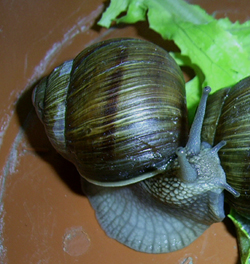 Молюск листопада серед наземних молюсків - Helix pomatia (2012 р.)