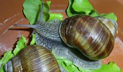 H. pomatia. Фотография 90