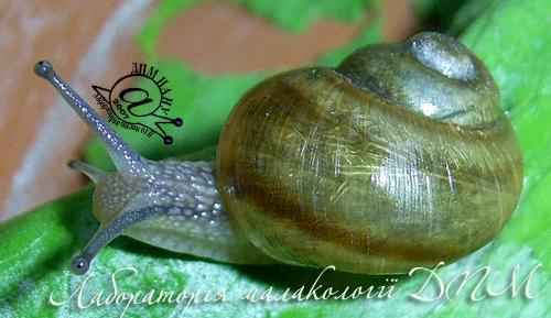 Helix pomatia. Фотография 91