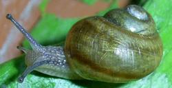 H. pomatia. Фотография 92