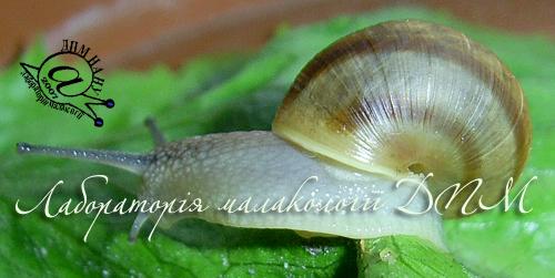 Helix pomatia. Фотография 93