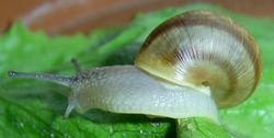 H. pomatia. Фотография 94