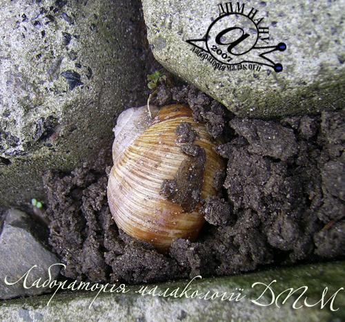 Helix pomatia. Фотография 95