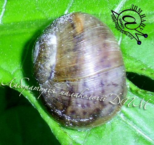 Helix pomatia. Фотография 97
