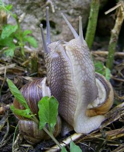 H. pomatia. Фотография 102