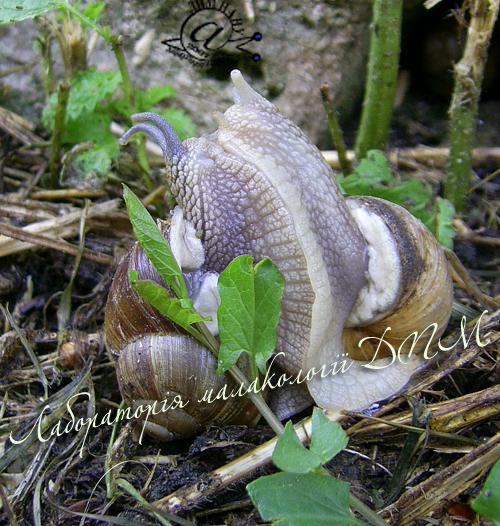 Helix pomatia. Фотография 103