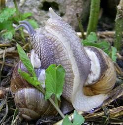 H. pomatia. Фотография 104