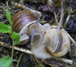 H. pomatia. Фотография 106