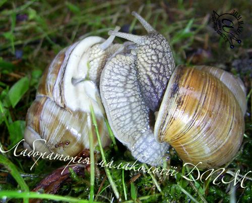 Helix pomatia. Фотография 107