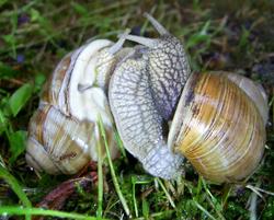 H. pomatia. Фотография 108