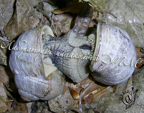 Helix pomatia. Фотография 109