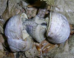 H. pomatia. Фотография 110