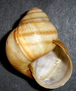 H. pomatia. Фотография 116