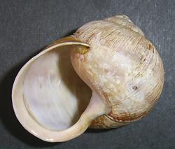 H. pomatia. Фотография 118