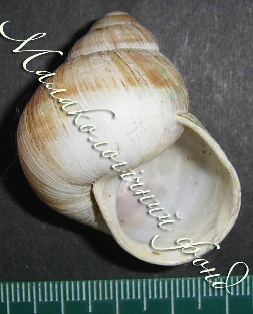 Helix pomatia. Фотография 119