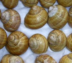 H. pomatia. Фотография 124