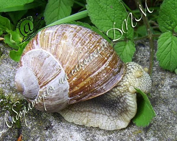 Helix pomatia. Фотография 68