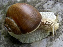 H. pomatia. Фотография 71