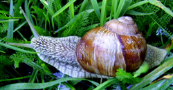 Моллюск января среди наземных моллюсков -Helix pomatia  (2019р.)
