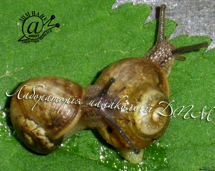 Helix pomatia. Фотография 62