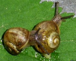 H. pomatia. Фотография 63