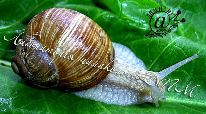 Helix pomatia. Фотография 64