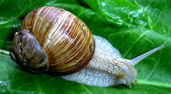 H. pomatia. Фотография 65