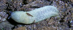 K. melanocephalus. Фотография 12