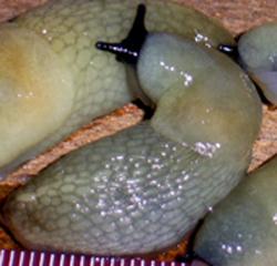 Krynickillus melanocephalus